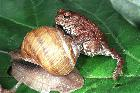 Bufo bufo and Helix pomatia #3111